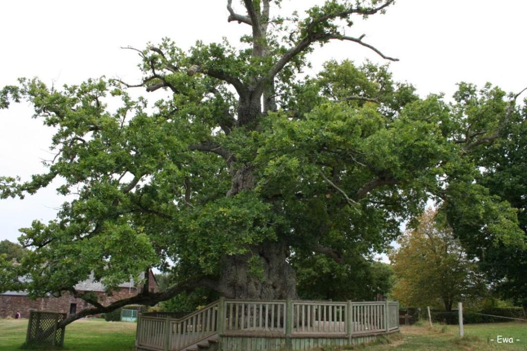 Le ch^éne à guillotin, forêt de Brocéliande